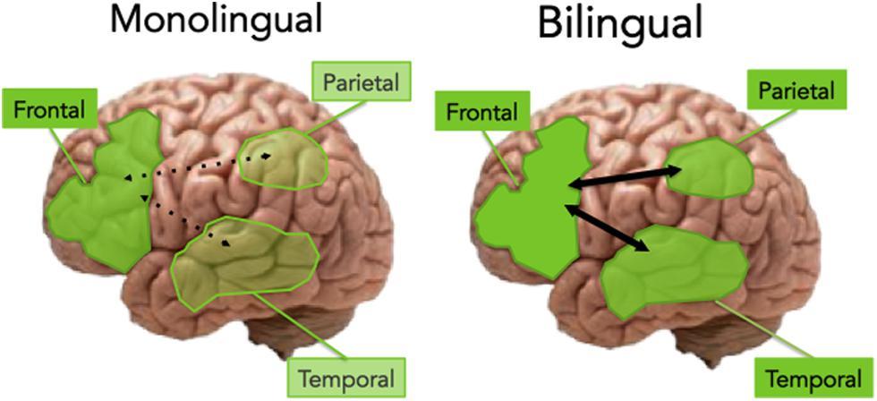 이중언어 두뇌